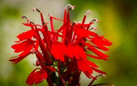DSC_2049. red cardinal flower comp Bob Leitch