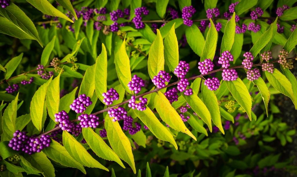 DSC_2494 beauty berry compressed