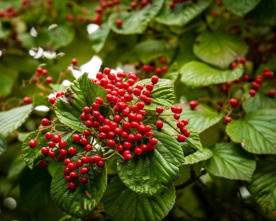DSC_2498 viburnum berries compressed