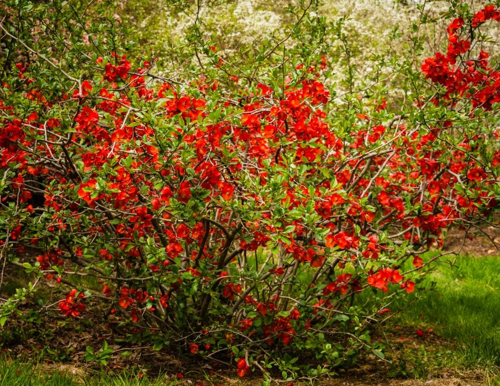 dsc_8691-quince-shrub-compressed