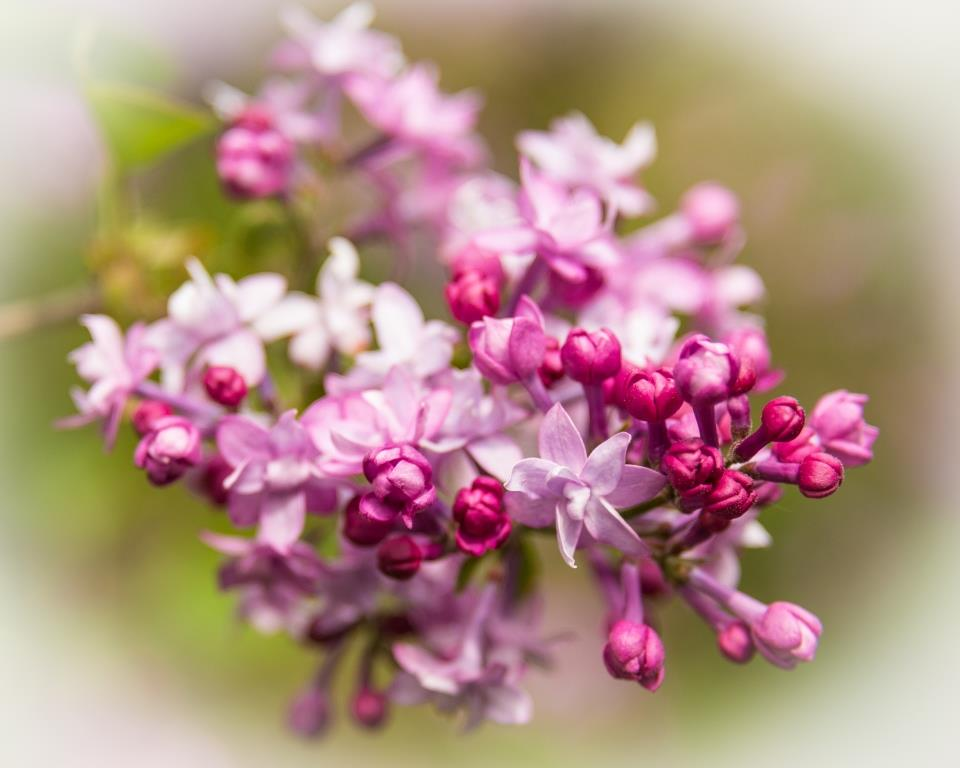 dsc_8699-lilac-compressed