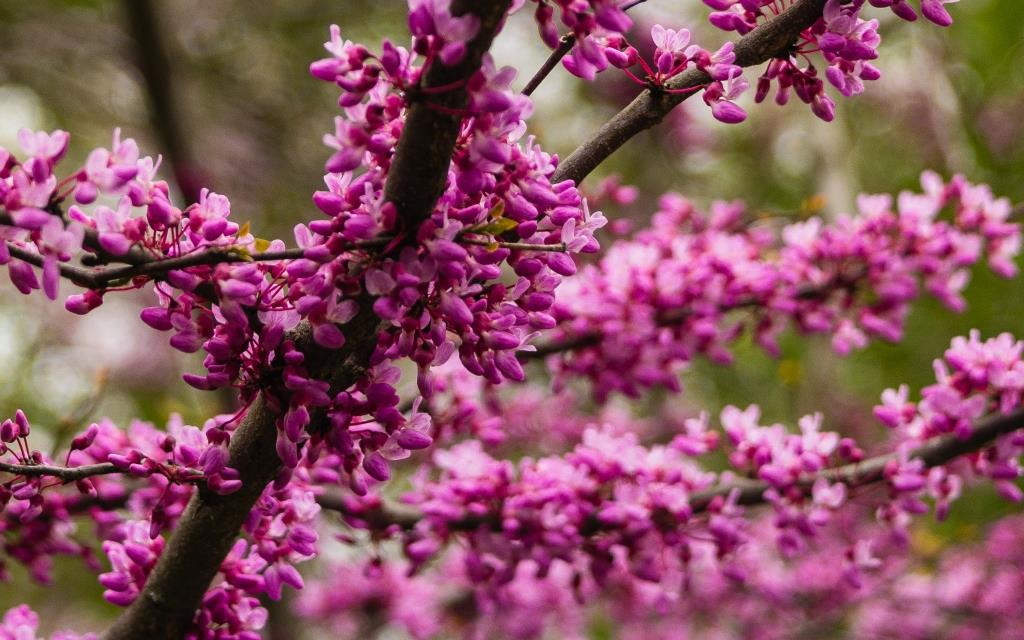 dsc_8730-red-bud-compressed