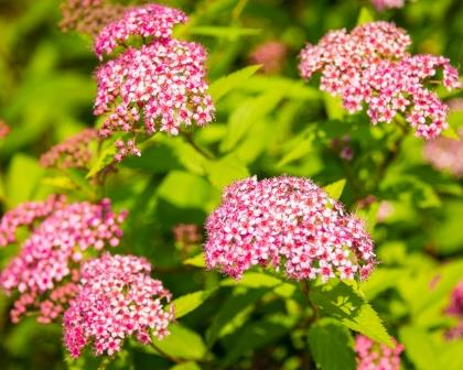 DSC_0004 pink spirea compressed
