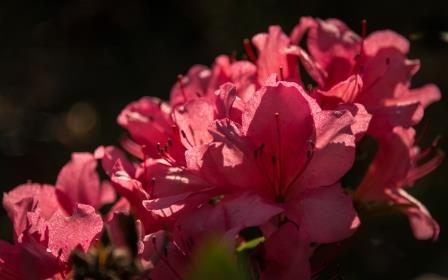 DSC_0022 pink azalea with dark background compressed