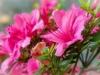 DSC_0014 pink azalea compressed