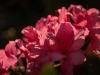 DSC_0022 pink azalea with dark background compressed