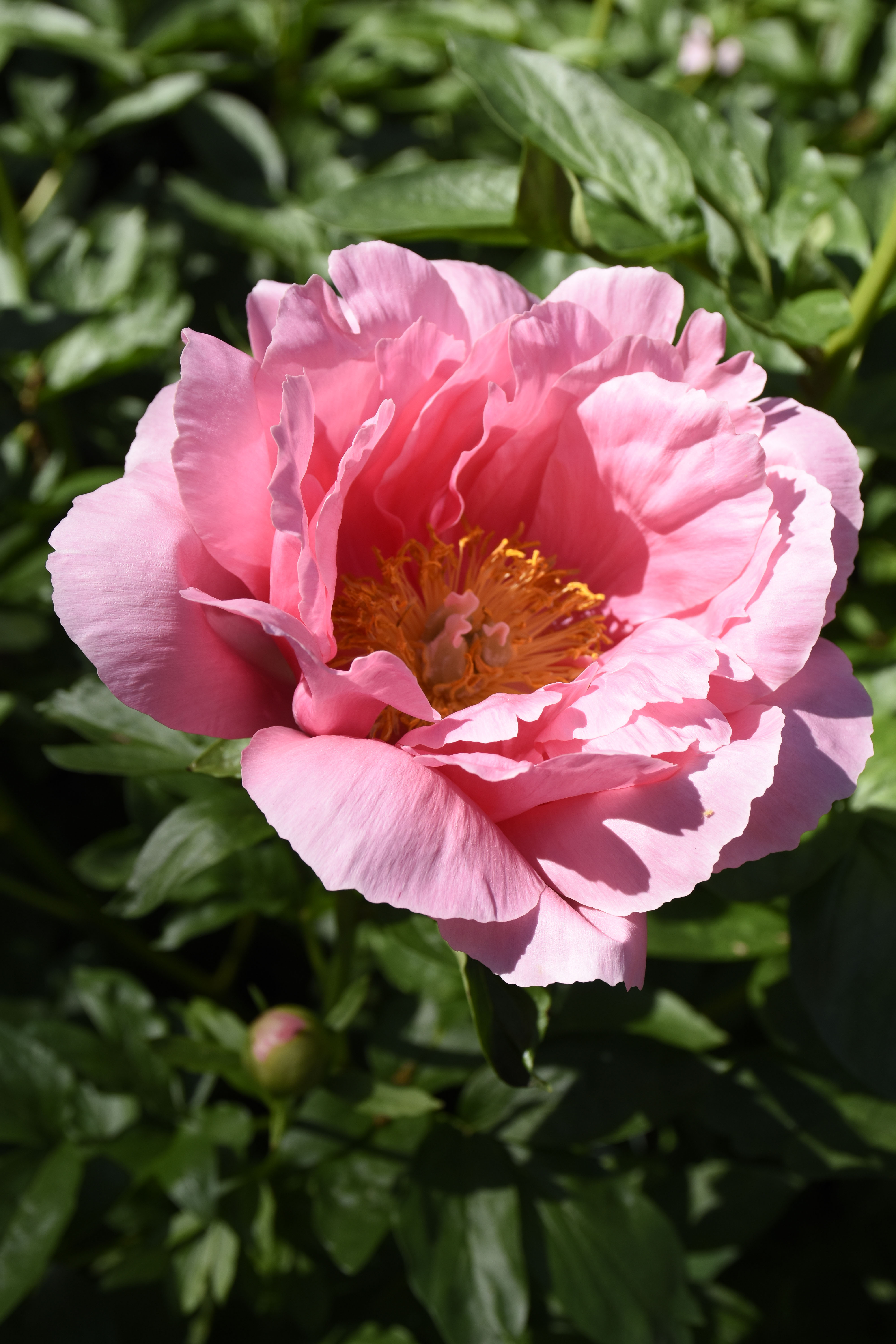 Herbaceous peony