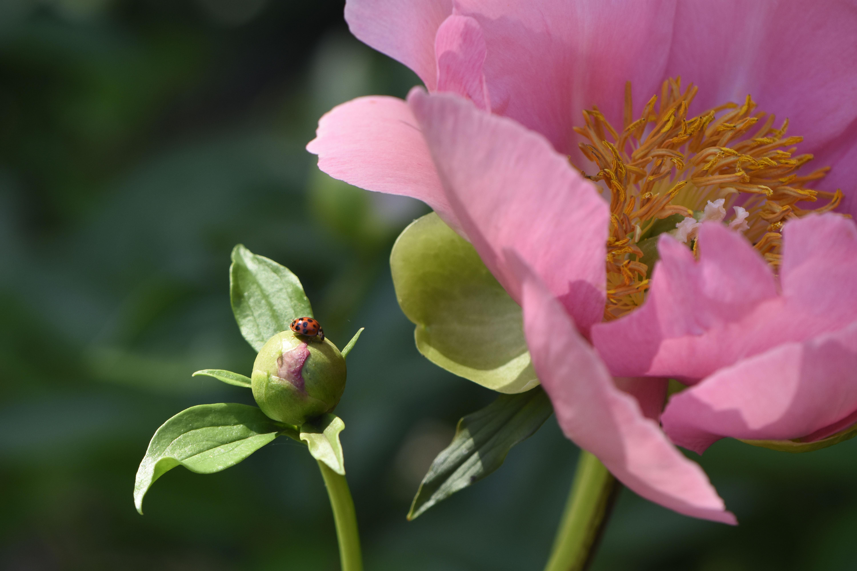 Ladybug on herbaceous peony flower bud