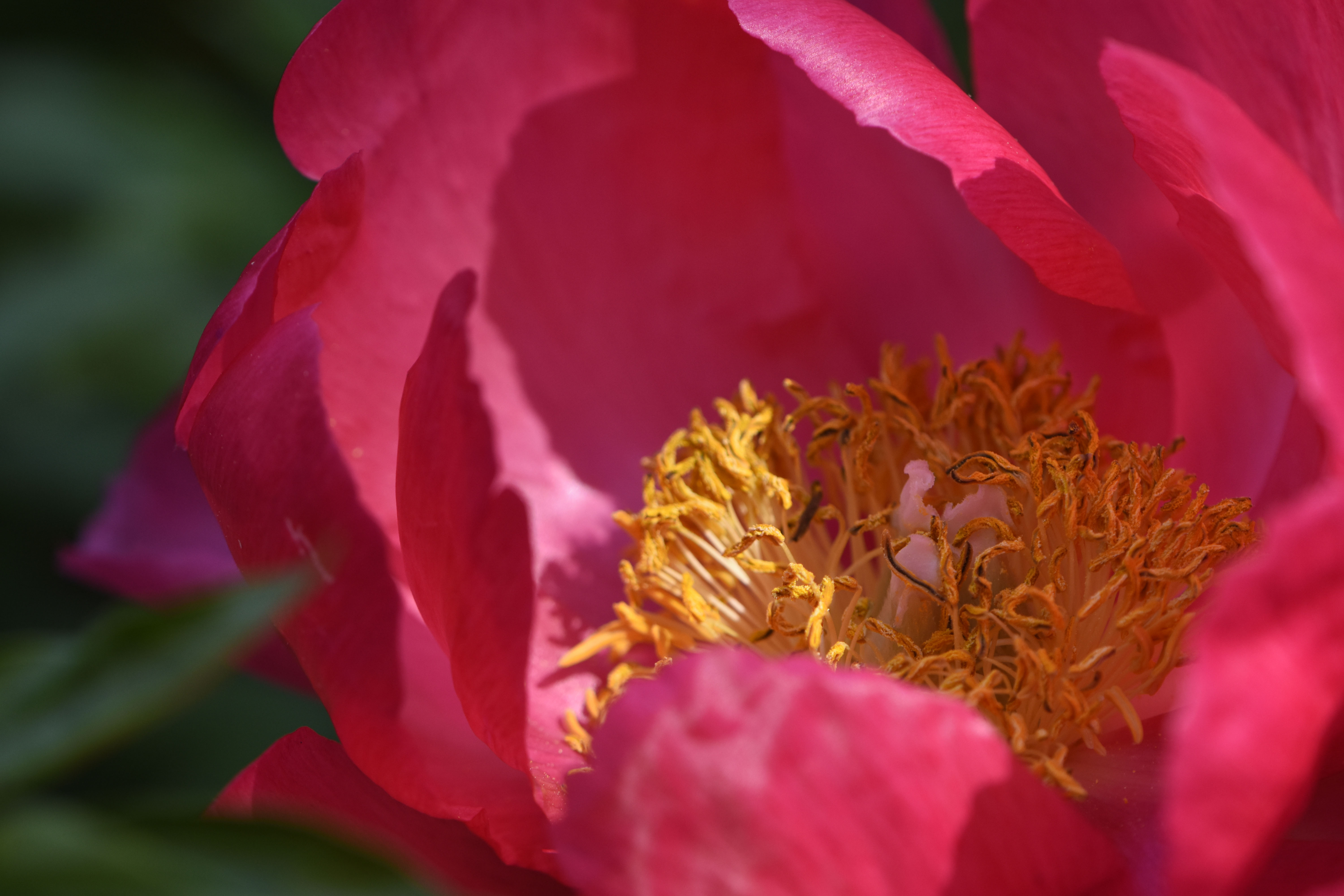 Golden stamens of herbaceous peony
