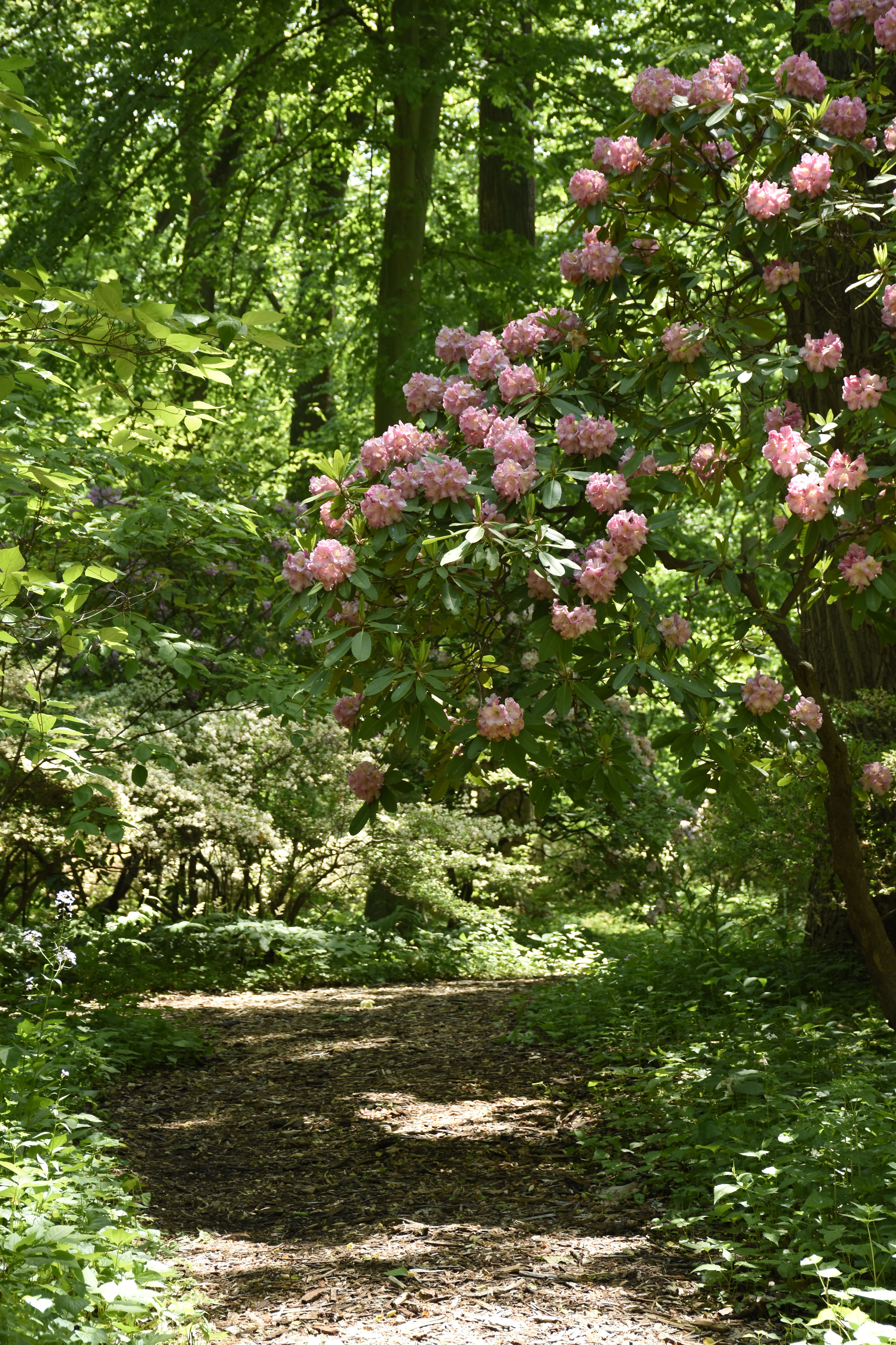 Rhododendron arches over path in Azalea Woods