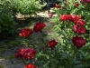 Bright red herbaceous peonies contrast against mossy crevices of flagstone path