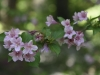 Old-fashioned weigela (Weigela florida var. venusta) in Upper Peony Garden