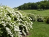White-flowering deutzia (Deutzia gracilis) overlooking meadow