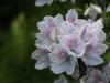 'Magnifica' snow azalea (Rhododendron mucronatum 'Magnifica')