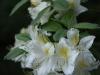 Ghent hybrid azalea (Rhododendron 'Daviesii')