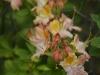 Deciduous azalea (Rhododendron 1086)