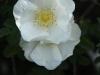 Scotch rose in the Sundial Garden (Rosa pimpinellifolia var. altaica)
