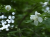 Wonderfully aromatic mock orange blossoms (Philadelphus cv.) in the Glade Garden