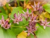 DSC_3168 toad lily compressed