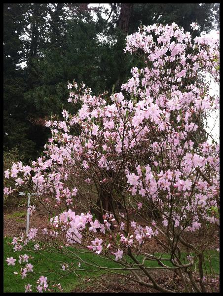 azalea-in-pinetum-4-24-2013-kls