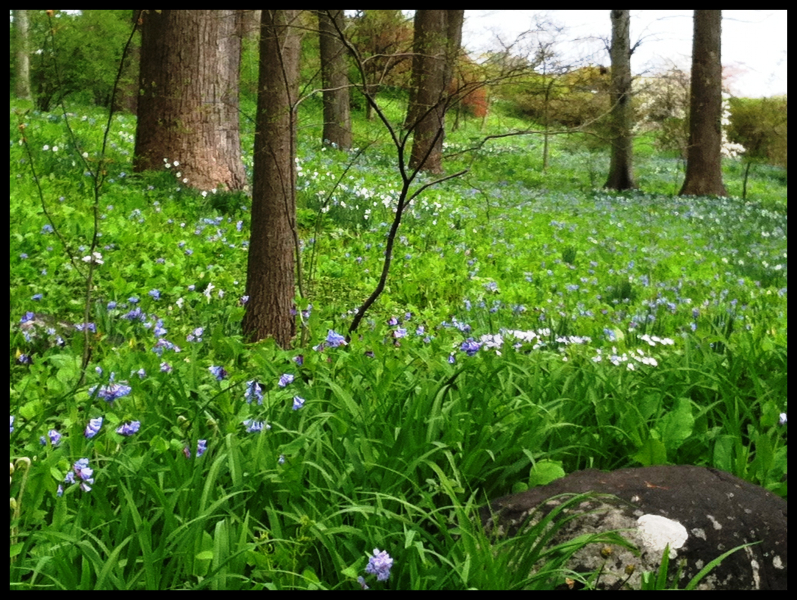bluebells-and-windflowers-march-bank-4-24-2013-kls