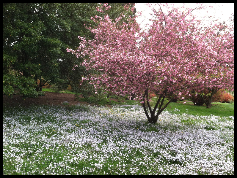 crab-apple-tree-near-sundial-garden-4-24-2013-kls