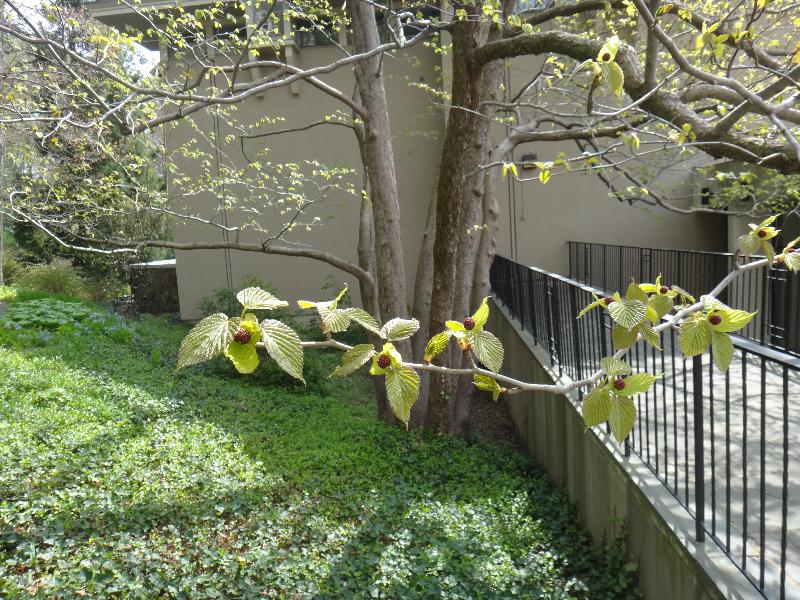 dove-tree-before-bloom-04-24-2013-march-bank-sundial-garden-kls-054