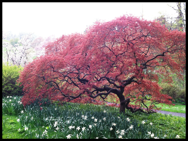 maple-at-magnolia-bend-new-red-leaves-4-24-2013-kls
