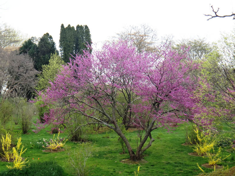 redbud-04-24-2013-march-bank-sundial-garden-kls-093