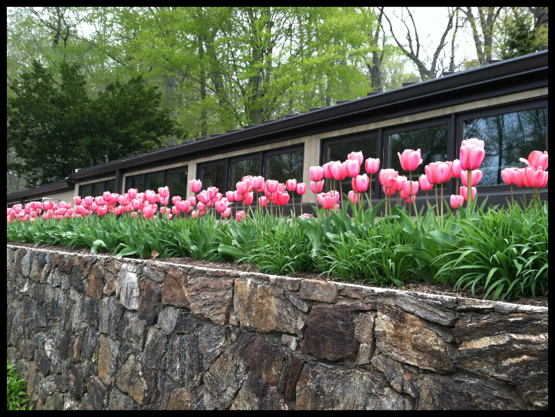 tulips-at-bhlc-4-24-2013-kls