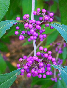 callicarpa at Winterthur