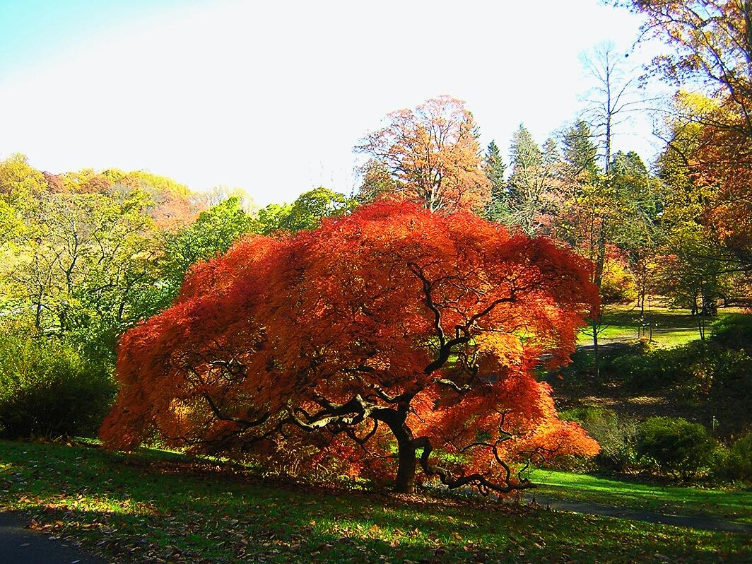 Japanese Maple Ablaze Winterthur Garden Blog