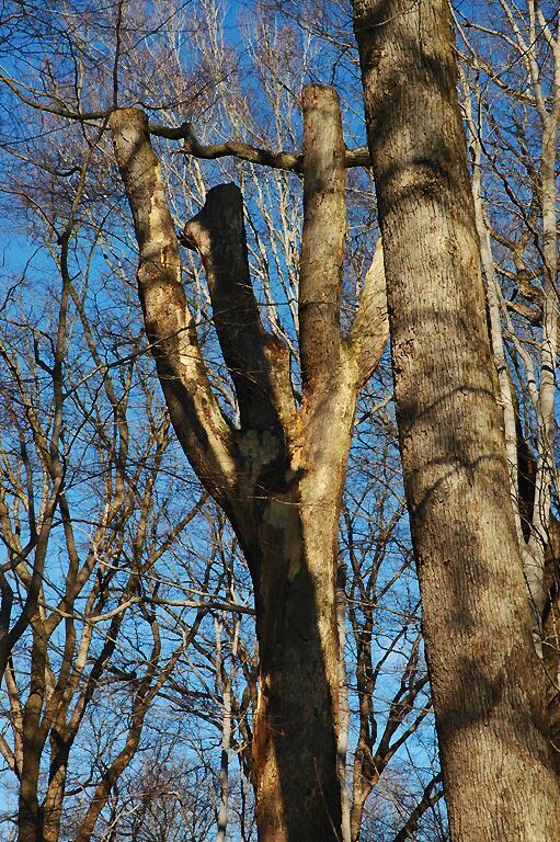 Old Standing Oak
