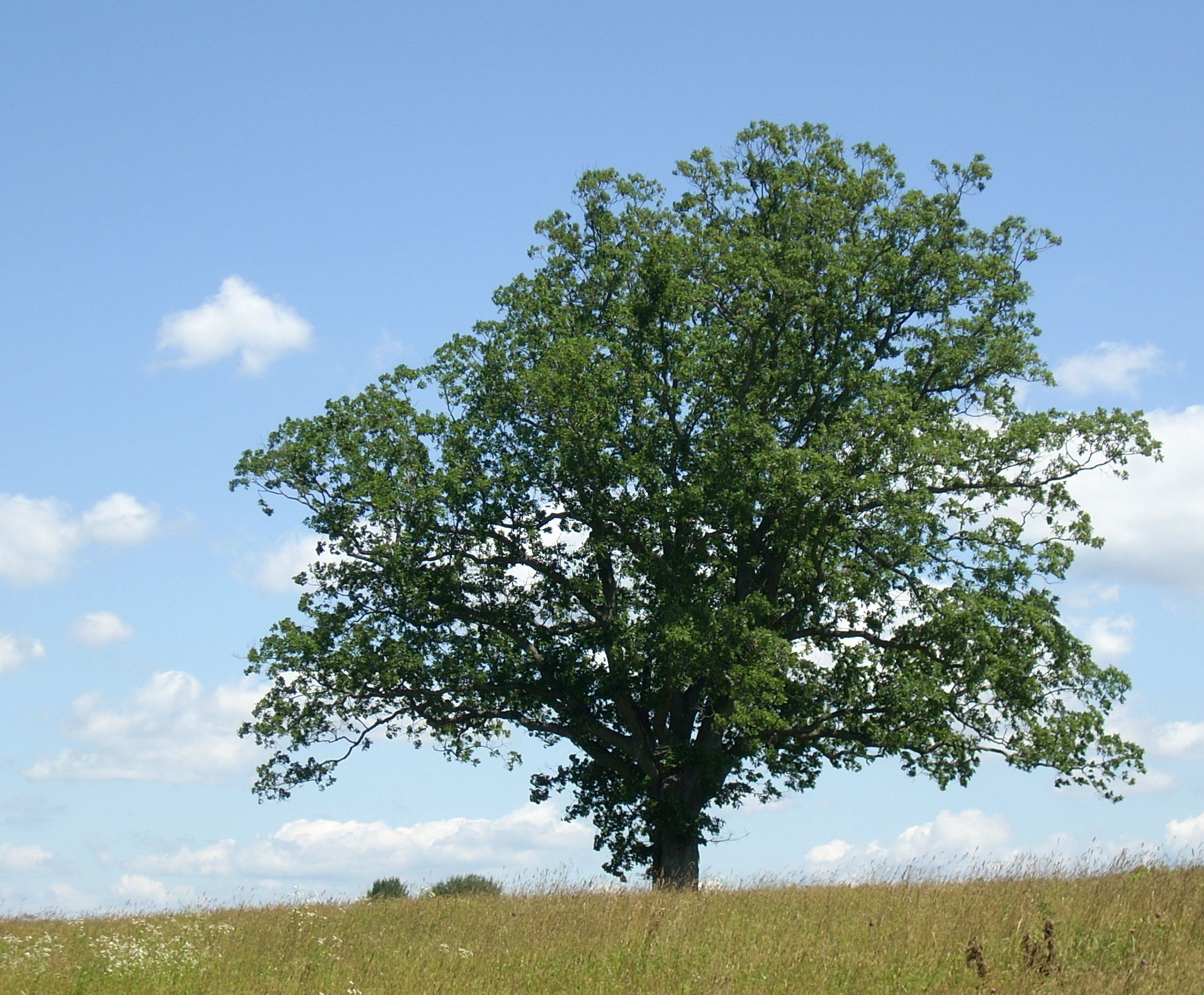 oak-1