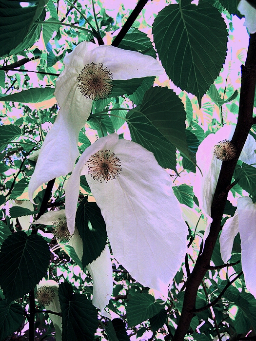 DF_Dove Tree2