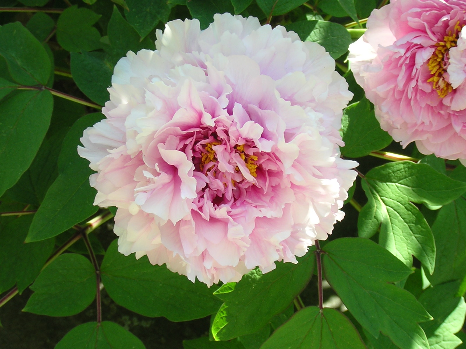 light pink tree peony