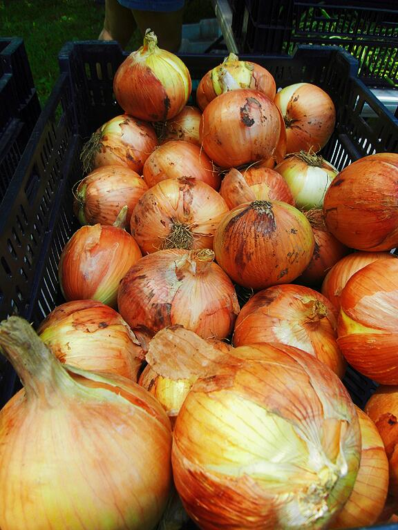 DF_onions