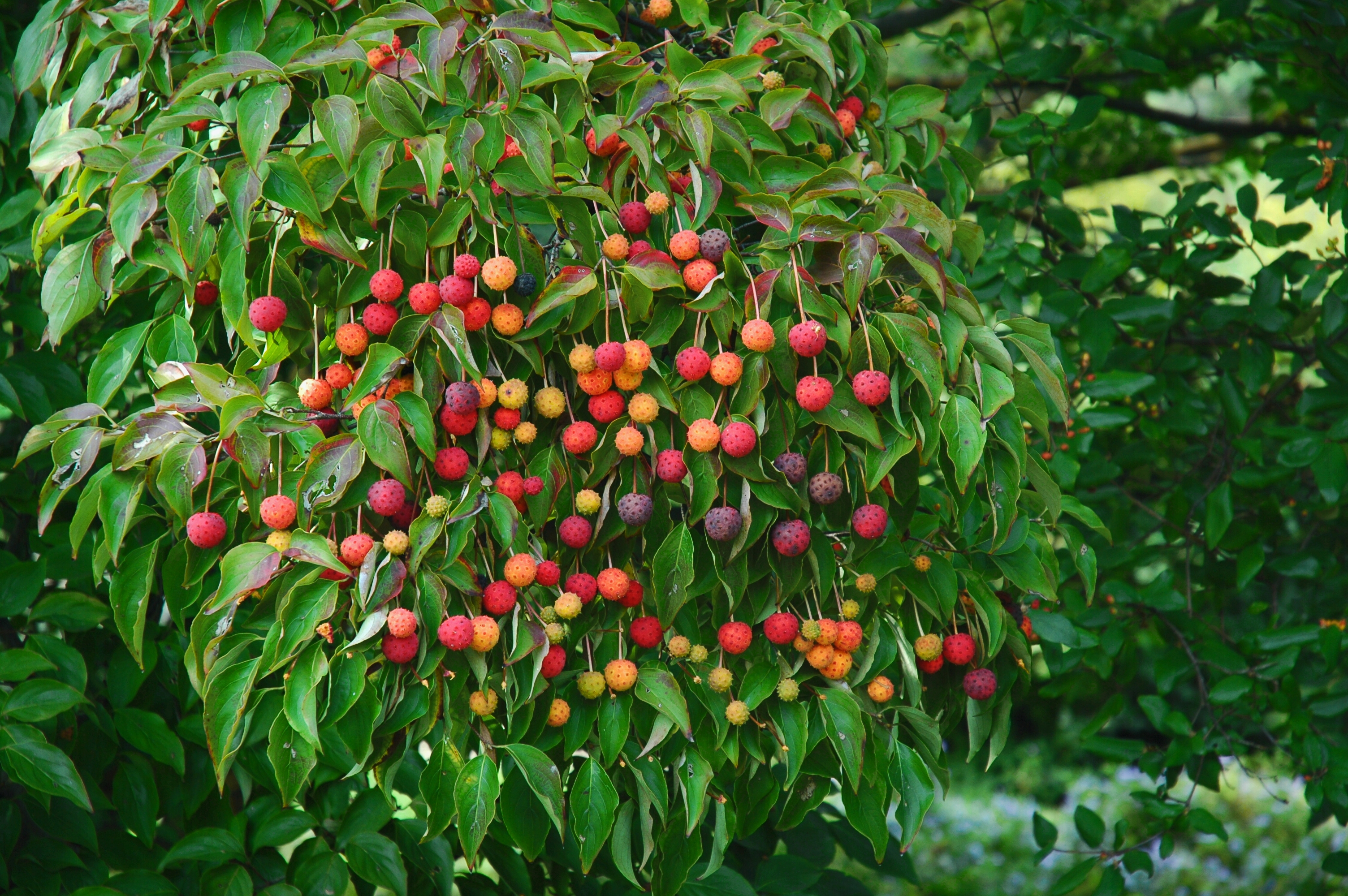 The Tempting Fruit of Kousa Dogwood « Winterthur Garden Blog