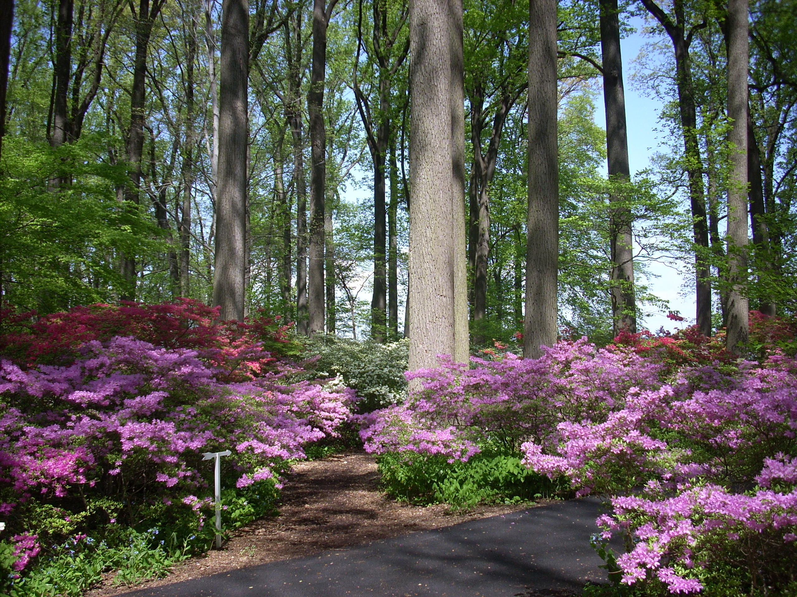 Azalea woods april 22 2010 winterthur garden blog for Landscaping longwood