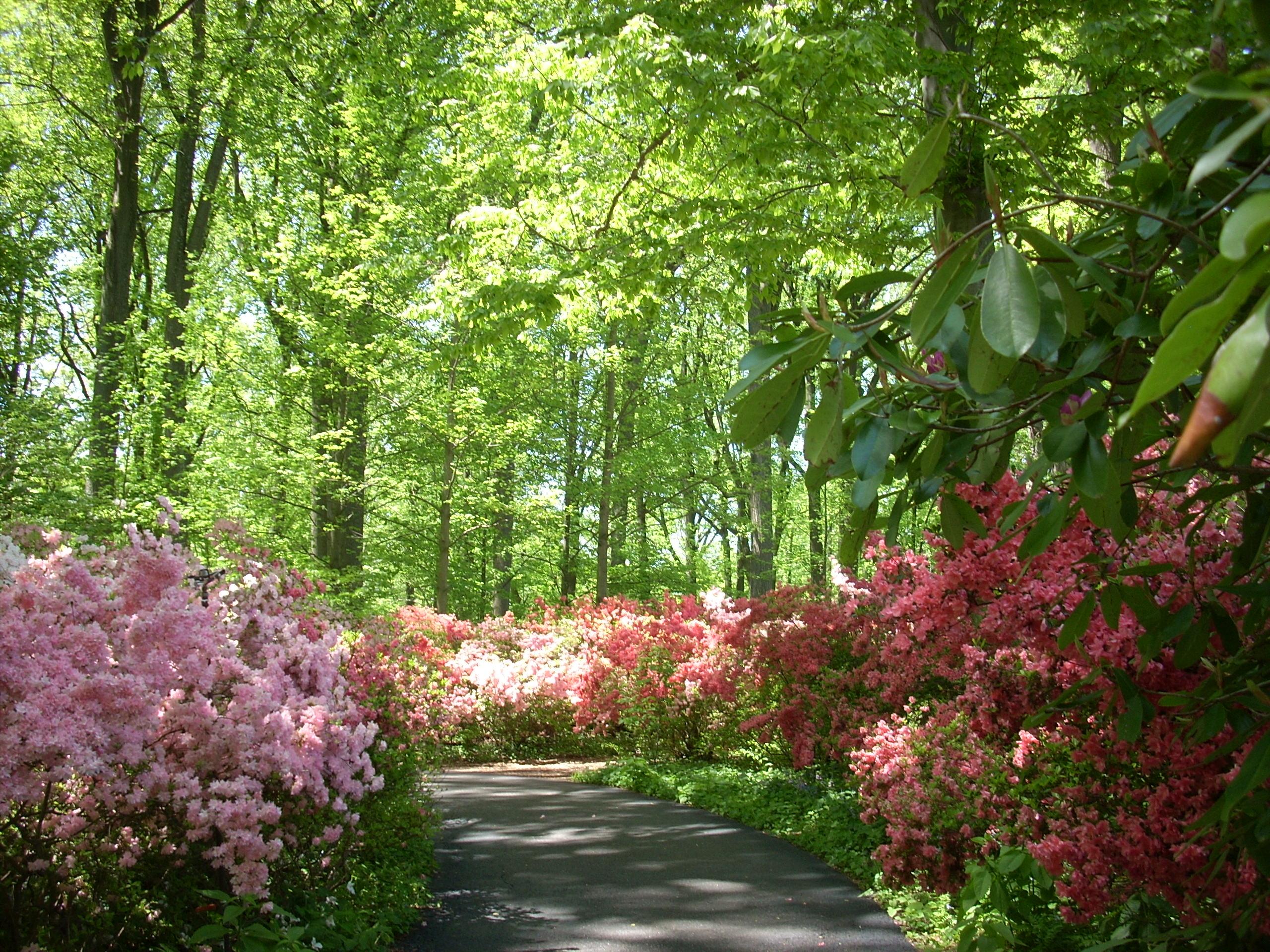 Quarry garden is at peak winterthur garden blog for The azalea
