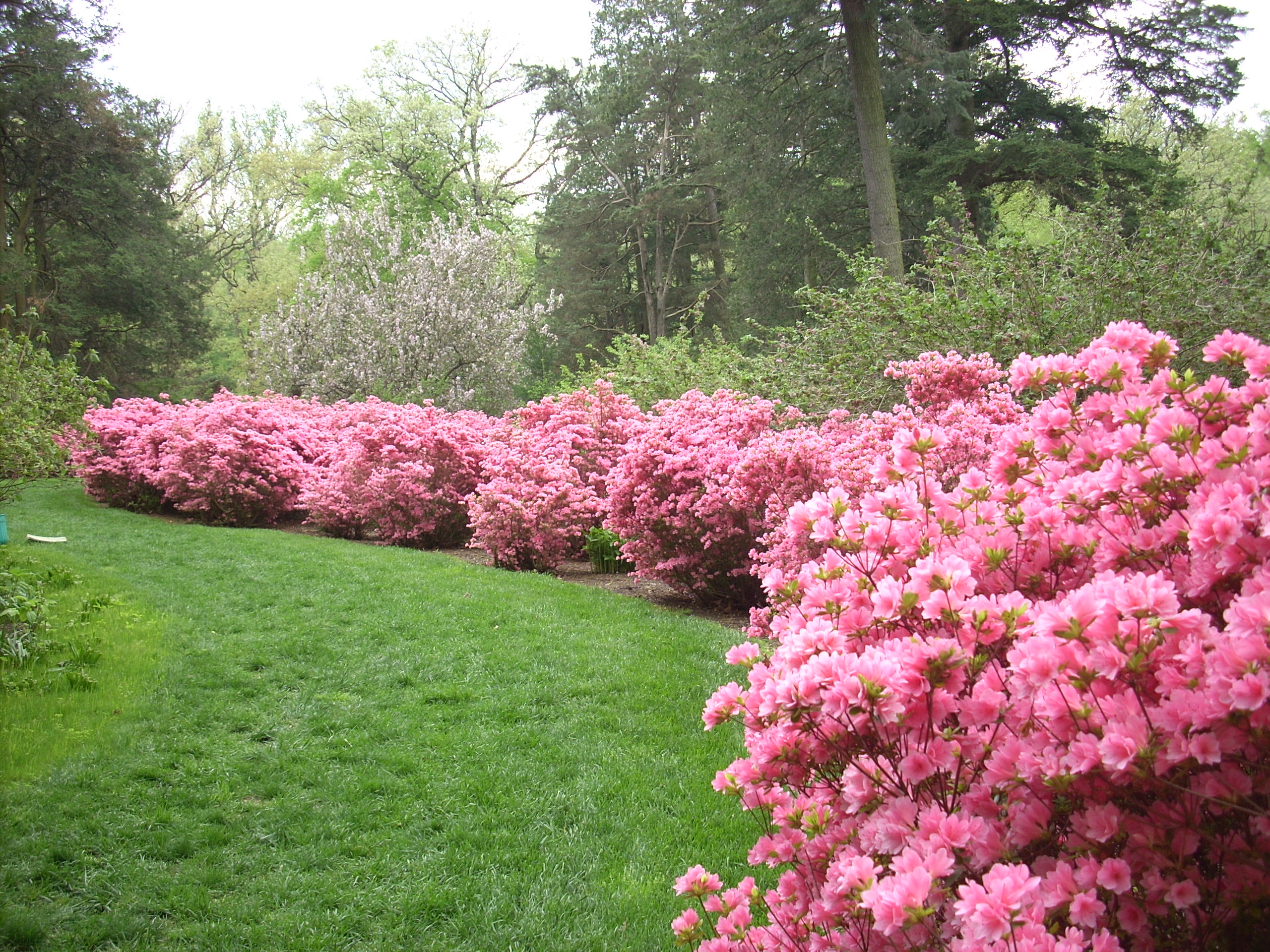 April 29 2011 pearl bush azaleas etc 032 winterthur for The azalea