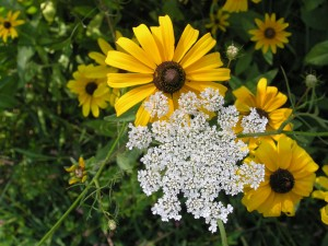 Black-eyed Susans and Queen Anne's lace flowers in fall
