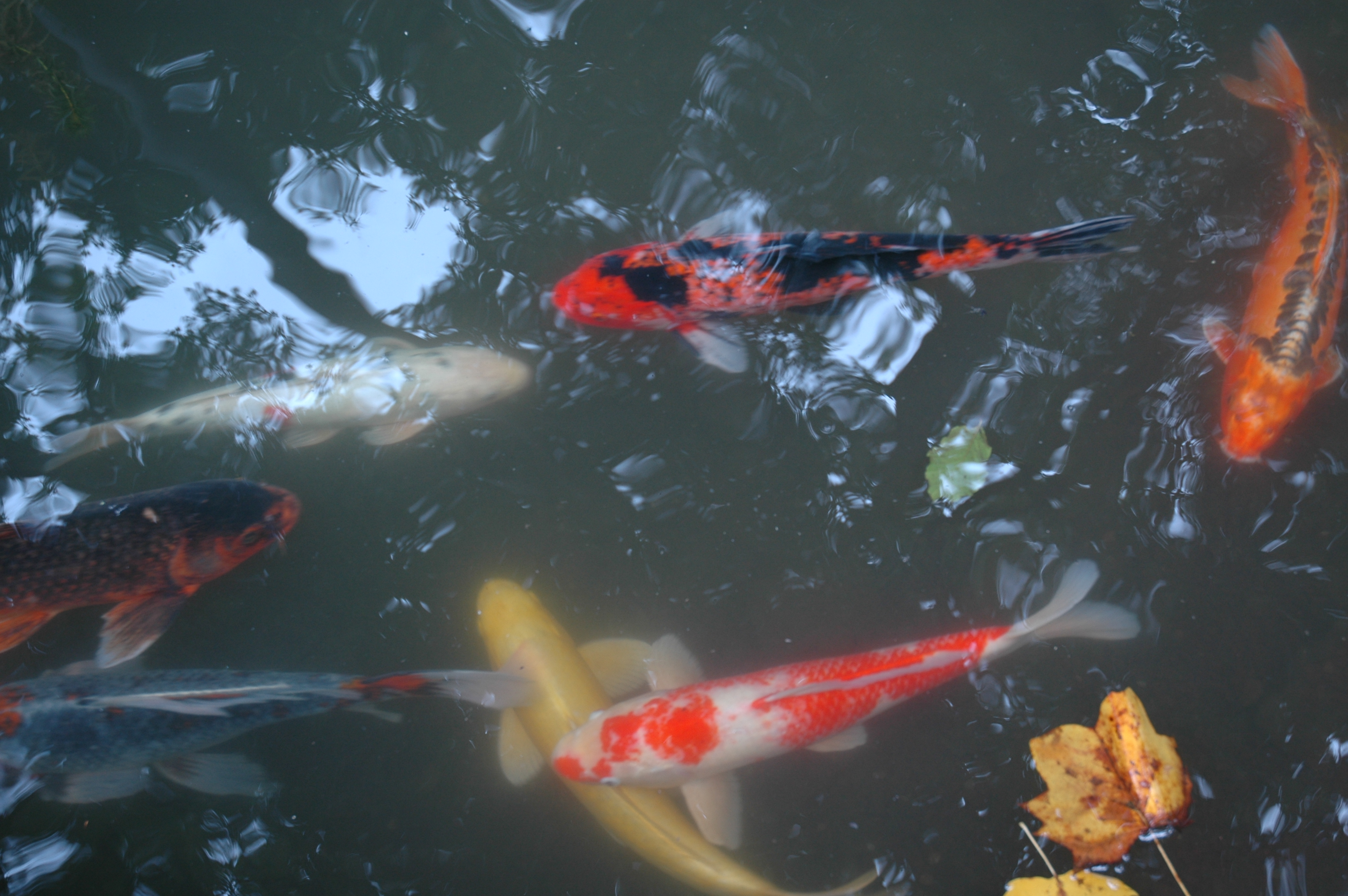 Meet the Koi of the Glade Garden Winterthur Garden Blog