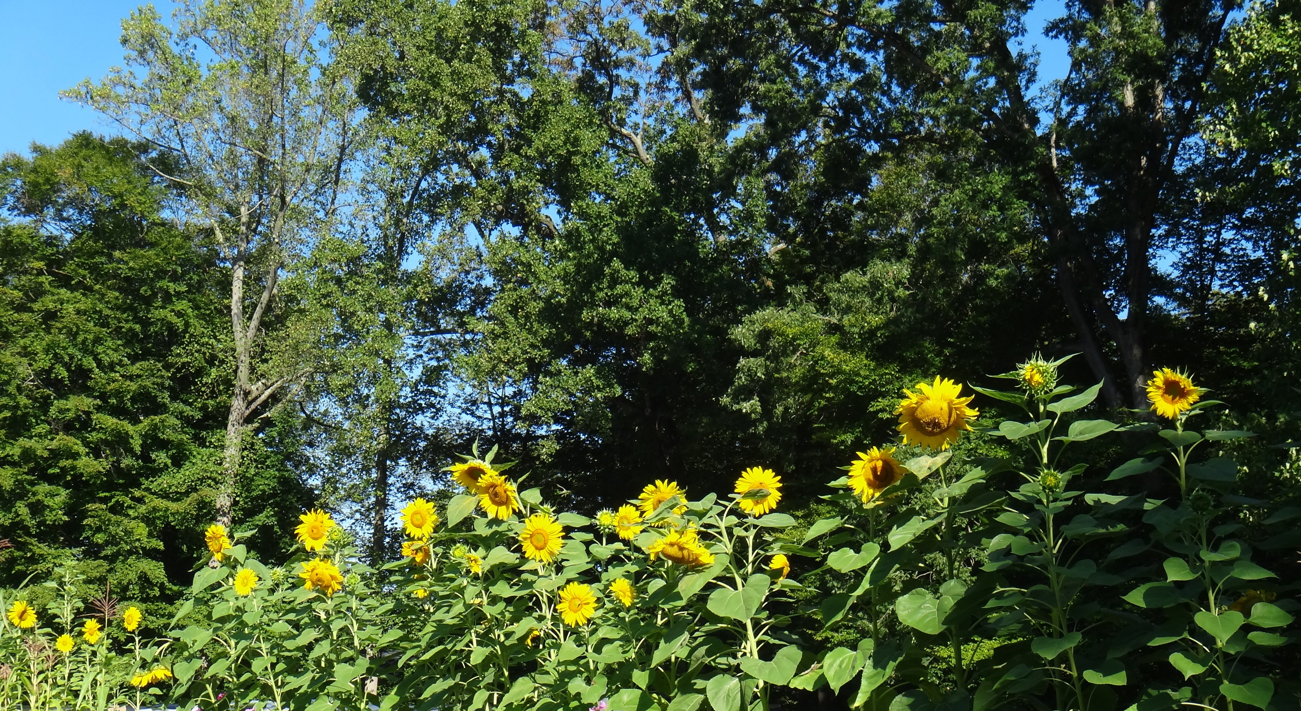 sunflower mature personals 5 sunflower fields to visit in maryland  you could at least get an awesome instagram out of a trip to a sunflower field  very mature 4.