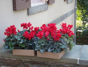 Bright Cyclamen for an Inside Display