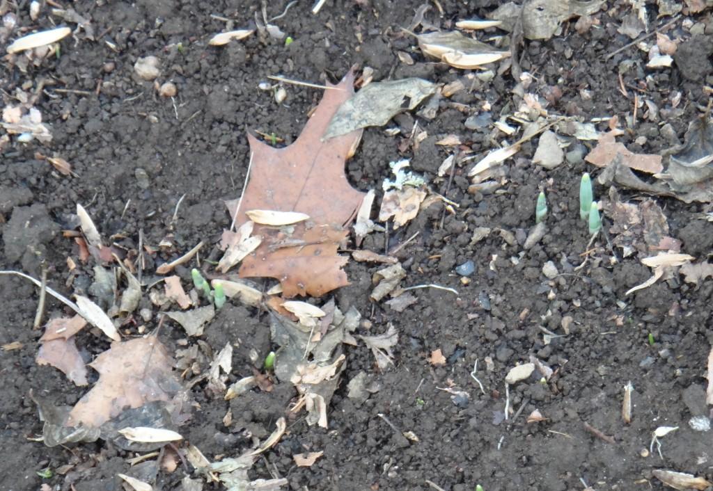 Snowdrops emerging 12.18.2012 kls 003