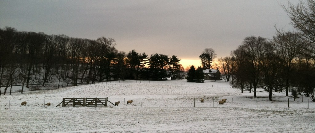 sheep photo 12.31.12 kls.panorama