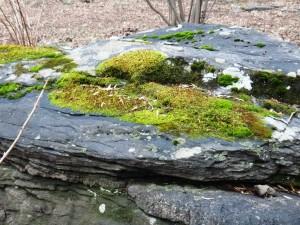 moss on rock glade garden 1.17.2013 kls DSC00011