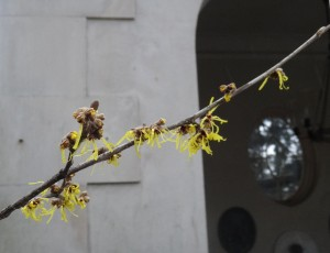 Witch-hazel on East Terrace