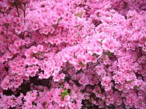 pink azalea closeup4.19.2012 kls